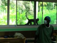 Gibbon-Affe St. Martin bei seiner täglichen Visite
